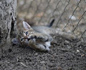 Фото Коты Котята Лапы Взгляд Животные