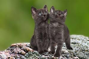 Обои Кошка Котенка Два Взгляд животное