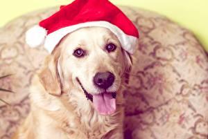 Фотография Рождество Собаки Голден Шапки Язык (анатомия) Морда Животные