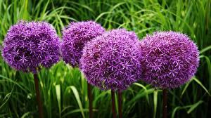 Фотографии Фиолетовый Decorative onion Allium Gladiator Цветы