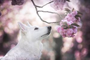 Фотографии Собаки Овчарка Белый Ветки Сакура Berger Blanc Suisse Животные
