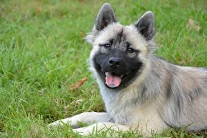 Фото Собаки Трава Щенок Голова Смотрит Язык (анатомия) Eurasier Животные
