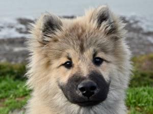 Фото Собаки Щенок Голова Смотрит Пушистый Морда Eurasier Животные