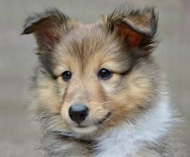 Картинки Собаки Шелти шетландская овчарка Щенок Голова Смотрит Животные