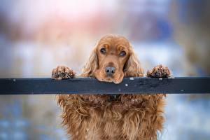 Картинки Собака Спаниеля Голова Лапы Смотрит Грустный животное