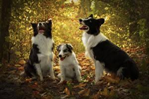 Фотографии Собака Втроем Щенок Бордер-колли животное
