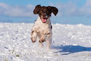 Фотографии Собака Снег Бежит Спаниель cocker spaniel животное