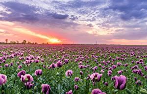 Картинка Поля Маки Рассветы и закаты Цветы Природа