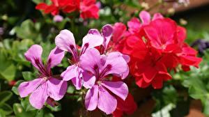 Картинка Герань Вблизи Лепестков Цветы