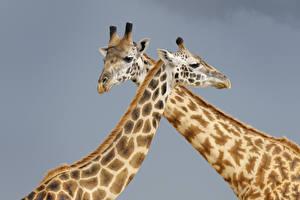 Фотография Жираф Серый фон Двое животное