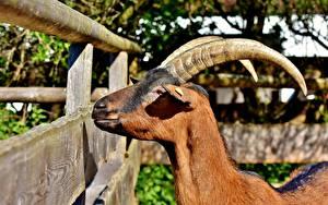 Обои Коза козел Голова Рыжий Рога Забор Животные