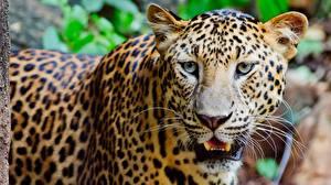 Картинки Леопарды Смотрит