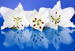 Фотографии Лилии Крупным планом Цветной фон Втроем Белый Отражение Цветы