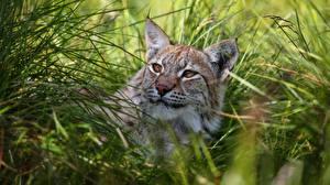 Картинки Рыси Траве Смотрят животное