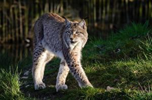 Картинки Рыси Траве Лап Смотрят Животные
