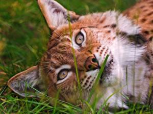 Картинки Рыси Морды Смотрит животное