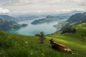 Фотография Горы Луга Корова Пейзаж Швейцария Трава Альпы Природа
