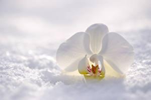 Обои Орхидея Крупным планом Белая Снегу Цветы