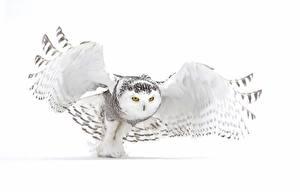 Фотография Совы Белый Белый фон Животные