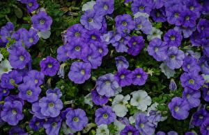 Фотографии Петуния Много Вблизи Фиолетовый Цветы