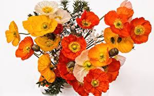 Фото Маки Вблизи Желтые Красных Белый фон цветок