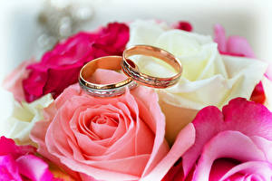 Обои Роза Крупным планом Кольца Двое Золотых Цветы