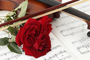 Фотография Розы Ноты Красный Втроем Цветы