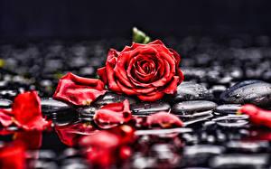 Фото Розы Лепестки Красный цветок