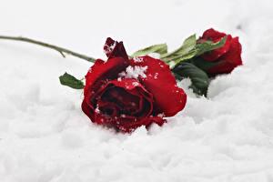 Обои Розы Красный Снег Цветы