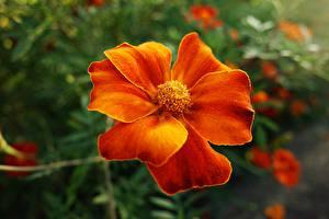 Картинки Бархатцы Вблизи Оранжевая цветок