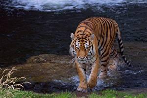 Картинка Тигры Вода Животные