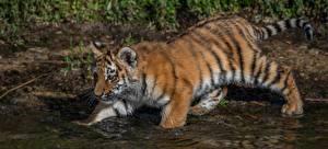 Фотография Тигры Вода Детеныши Животные
