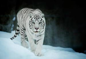 Картинки Тигры Белый Животные