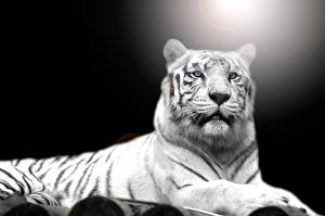 Картинки Тигры Белый Смотрит Животные