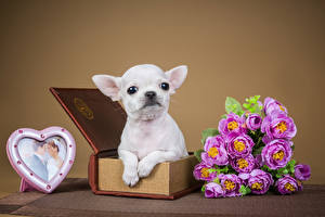 Фотографии День всех влюблённых Собаки Букеты Розы Сердечко Чихуахуа