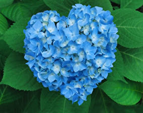Картинка День всех влюблённых Гортензия Сердце Голубой Цветы