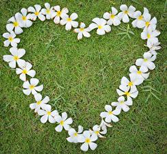 Фото День всех влюблённых Плюмерия Трава Сердце Белый Дизайн Цветы