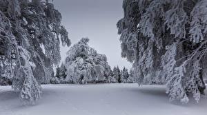 Картинки Зима Снеге Ель Ветки Природа