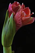 Картинки Амариллис Крупным планом Черный фон Цветы