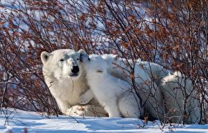 Фотографии Медведи Полярный Детеныши