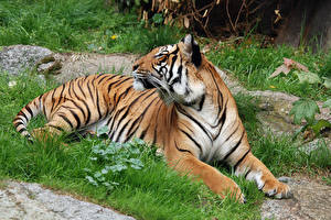 Фотография Большие кошки Тигры