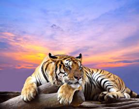 Фотография Большие кошки Тигры Лапы