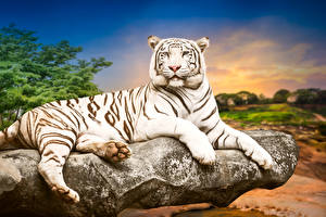 Обои Большие кошки Тигры Белый Взгляд