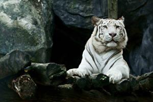 Картинки Большие кошки Тигры Белых Морда животное
