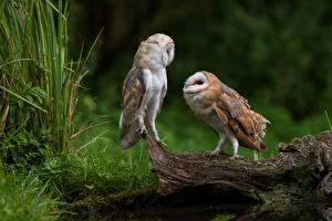 Картинка Птицы Совообразные Вдвоем Tyto