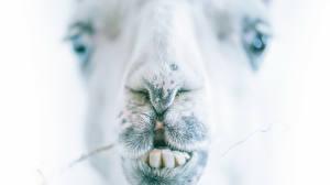 Фотография Верблюды Вблизи Зубы Морда Животные