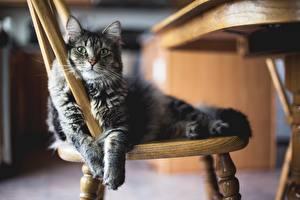 Картинка Коты Стулья Лапы