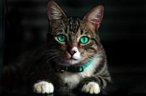 Картинка Кошки Взгляд Лапы Животные