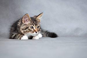 Картинки Коты Серый фон Котенка Животные