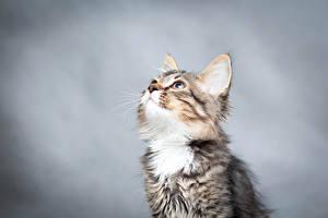 Фото Коты Котята Смотрит